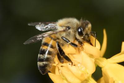 USA, California. Honey bee on flower. by Jaynes Gallery