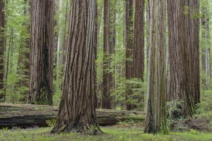 USA, California, Humboldt Redwoods State Park. Redwood tree scenic. by Jaynes Gallery