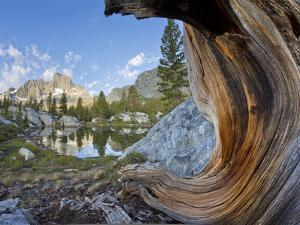 USA, California, Inyo National Forest. Old pine and tarn next to Garnet Lake. by Jaynes Gallery