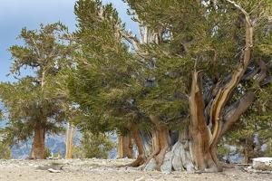 USA, California, Inyo National Forest. The Patriarch Tree in Ancient Bristlecone Pine Forest. by Jaynes Gallery