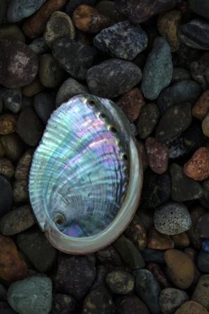 USA, California, La Jolla. Baby abalone shell on cobblestone beach. by Jaynes Gallery