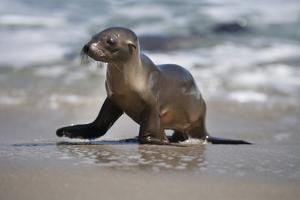 USA, California, La Jolla. Baby sea lion on beach. by Jaynes Gallery