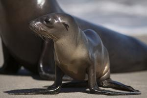 USA, California, La Jolla. Baby sea lion on sand. by Jaynes Gallery