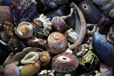 USA, California, La Jolla. Seashells on beach. by Jaynes Gallery
