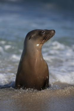 USA, California, La Jolla. Young sea lion in beach water. by Jaynes Gallery