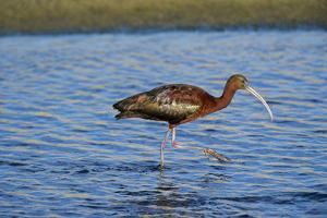 USA, California, Los Angeles. Glossy ibis in breeding plumage. by Jaynes Gallery
