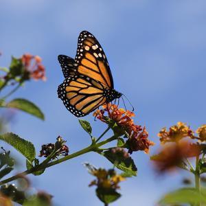 USA, California. Monarch butterfly on lantana flower. by Jaynes Gallery