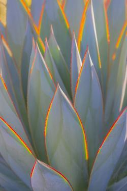 USA, California, Morro Bay. Backlit agave leaves. by Jaynes Gallery