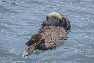 USA, California, Morro Bay State Park. Sea Otter mother resting on water. by Jaynes Gallery