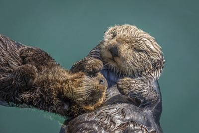 USA, California, Morro Bay State Park. Sea Otter mother with pup. by Jaynes Gallery