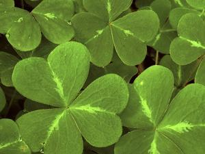 USA, California, Muir Woods. Close Up of Clover by Jaynes Gallery