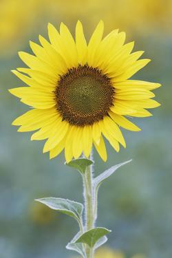 USA, California, Napa Valley of sunflower. by Jaynes Gallery