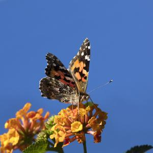 USA, California. Painted lady butterfly on lantana flowers. by Jaynes Gallery