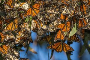 USA, California, Pismo Beach. Monarch Butterflies Cling to Leaves by Jaynes Gallery
