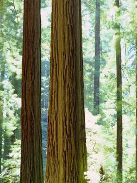 USA, California, Redwood National Park. Old-Growth Redwood Trees by Jaynes Gallery