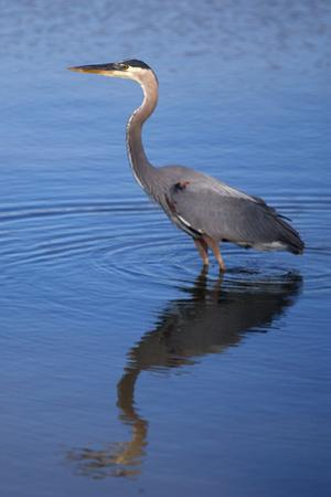 USA, California, San Diego, Lakeside. Great Blue Heron by Jaynes Gallery