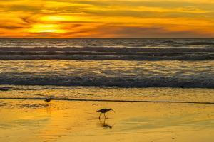 USA, California, San Luis Obispo County. Long-billed curlews feeding at sunset. by Jaynes Gallery