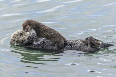 USA, California, San Luis Obispo County. Sea otter mother and pup. by Jaynes Gallery