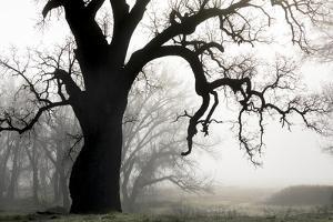 USA, California, Shell Creek. Silhouette of oak tree in fog. by Jaynes Gallery