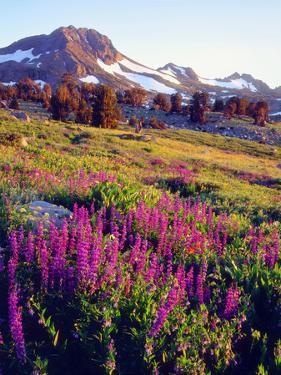 USA, California, Sierra Nevada. Lupine Wildflowers at Carson Pass by Jaynes Gallery