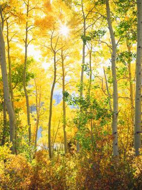 USA, California, Sierra Nevada Mountains, Fall Colors of Aspen Trees by Jaynes Gallery