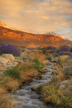 USA, California, Sierra Nevada Mountains. Inyo bush lupine flowers on hillside. by Jaynes Gallery