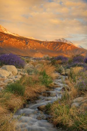 USA, California, Sierra Nevada Mountains. Inyo bush lupine flowers on hillside. by Jaynes Gallery