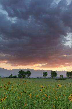 USA, California, Sierra Nevada Mountains. Sunflowers in Owens Valley at sunset. by Jaynes Gallery
