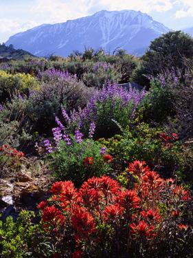 USA, California, Sierra Nevada, Wildflowers in the High Sierra by Jaynes Gallery