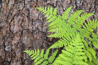 USA, California, Yosemite National Park. fern leaves against a pine tree trunk. by Jaynes Gallery