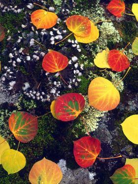 USA, Colorado, Aspen Leaves in the Rocky Mountains by Jaynes Gallery