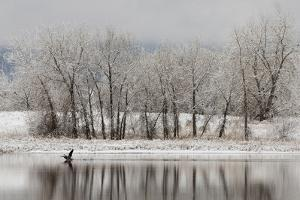USA, Colorado, Boulder. Canadian Geese Taking Flight from Water by Jaynes Gallery