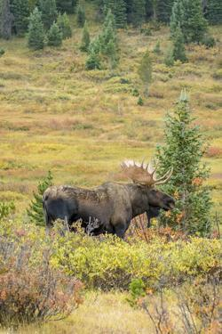 USA, Colorado, Cameron Pass. Bull moose with antlers. by Jaynes Gallery