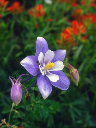 USA, Colorado, Columbine in Yankee Boy Basin in the Rocky Mountains by Jaynes Gallery