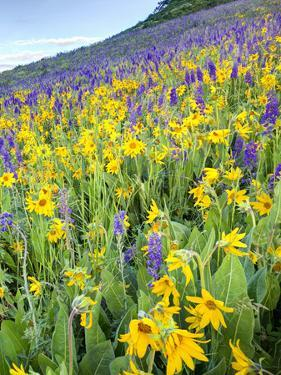 USA, Colorado, Crested Butte. Wildflowers covering hillside. by Jaynes Gallery