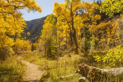USA, Colorado, Grizzly Creek Trail. Cottonwood trees in fall color. by Jaynes Gallery
