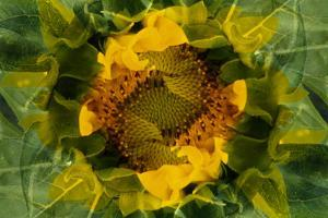 USA, Colorado, Lafayette. Sunflower Montage by Jaynes Gallery