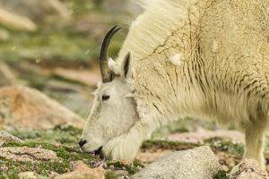 USA, Colorado, Mt. Evans. Mountain goat eating dwarf clover. by Jaynes Gallery