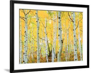 USA, Colorado, Rocky Mountains, Fall Colors of Aspen Trees by Jaynes Gallery