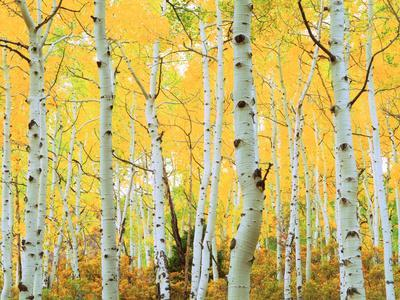 USA, Colorado, Rocky Mountains, Fall Colors of Aspen Trees