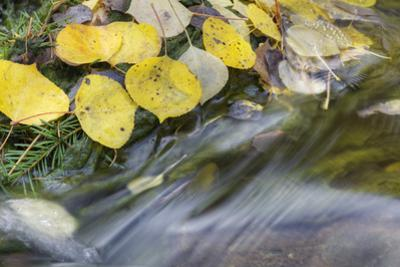 USA, Colorado, San Juan Mountains. Aspen leaves in stream. by Jaynes Gallery