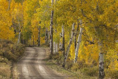 USA, Colorado, San Juan Mountains. Dirt road through aspen forest. by Jaynes Gallery
