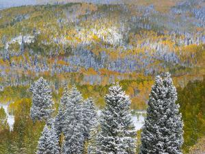 USA, Colorado, Uncompahgre National Forest. Landscape of forest in autumn. by Jaynes Gallery