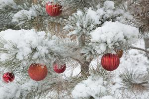 USA, Colorado, Woodland Park. Fresh snow and red ornaments on tree. by Jaynes Gallery