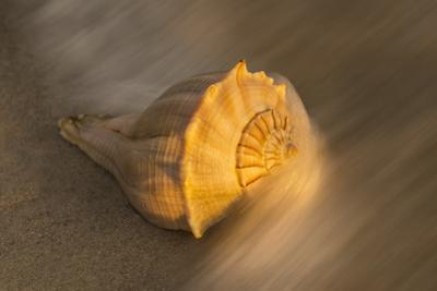 USA, Florida, Sanibel Island. Lightning whelk shell on beach sand. by Jaynes Gallery