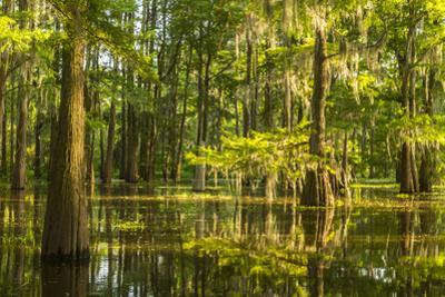 USA, Louisiana, Atchafalaya National Heritage Area. Tupelo trees in swamp. by Jaynes Gallery