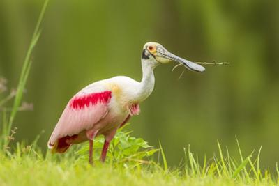 USA, Louisiana, Jefferson Island. Roseate spoonbill with stick for nest. by Jaynes Gallery