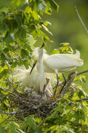 USA, Louisiana, Jefferson Island. Snowy egret pair at nest with chicks. by Jaynes Gallery