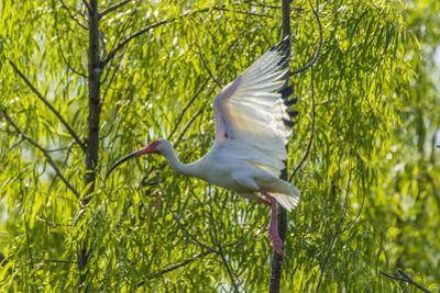 USA, Louisiana, Miller's Lake. White ibis in flight. by Jaynes Gallery