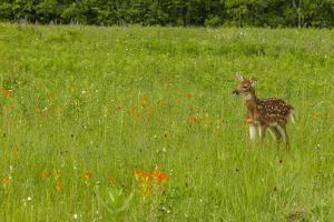 USA, Minnesota, Pine County. Captive fawn. by Jaynes Gallery